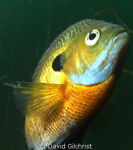 Bluegill Sunfish C/U, Windmill Point Quarry near Lake Erie by David Gilchrist