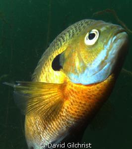 Bluegill Sunfish C/U, Windmill Point Quarry near Lake Erie by David Gilchrist