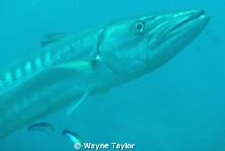 Barracuda by Wayne Taylor