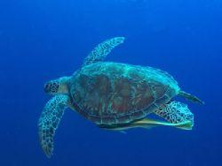 I found this beautiful green turtle and remora at Bunaken... by Erika Antoniazzo