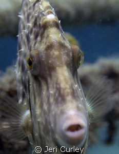 This filefish was a little curious about the reflection i... by Jeri Curley