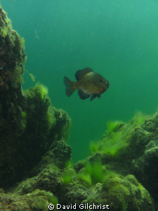 Sunfish swims past quarry wall. by David Gilchrist