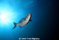 Kingfish Mauritius Island Flic en Flac by Jean-Yves Bignoux