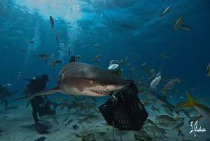The Lemon Sharks of Tiger Beach seem to sneak around and ... by Steven Anderson
