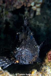 Unusual Lionfish, El Fanadir, Hurghada. Canon EOS 350d, 1... by Tobias Reitmayr