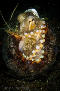 Coconut Octopus found in a coconut shell of all places :) by Tony Cherbas