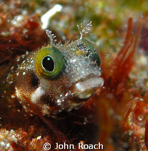 Blenny by John Roach