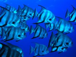 Large school of Spade Fish taken off Cocos Island Aboard ... by Charlie Foreman