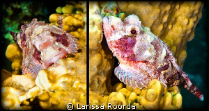 If there ever was a cute Stonefish, this juvenile might j... by Larissa Roorda