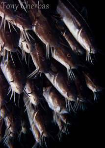 Catfish, Lembeh Strait by Tony Cherbas