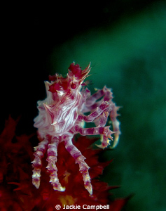 'Candy' Coral crab taken with Canon S90, 2 x Inon close u... by Jackie Campbell