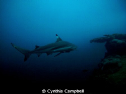 This Black Tip Reef Shark surprised with me when I turn t... by Cynthia Campbell