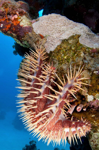 This is the only Crown of Thorns Starfish that I have eve... by Paul Colley