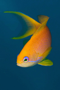 The inimitable female Anthias by Paul Colley