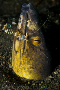 Another wonderful dive in Lembeh by Tony Cherbas