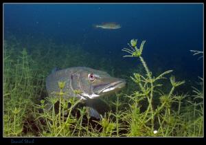 Last dive - of course a Pike :-D by Daniel Strub