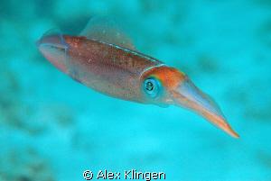 Calamari by Alex Klingen