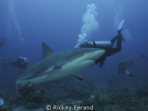 Shark Dive, Roatan, Honduras by Rickey Ferand