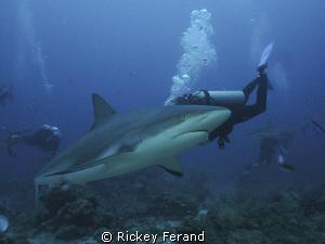 Shark Dive, Roatan, Honduras by Rickey Ferand