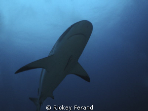 Female Caribbean Reef Shark - Roatan, Honduras by Rickey Ferand