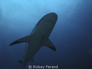 Female Caribbean Reef Shark - Roatan, Honduras by Rickey Ferand