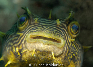 Striped Burrfish up front & personal! by Suzan Meldonian