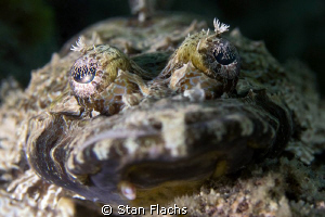 Crocodile fish by Stan Flachs