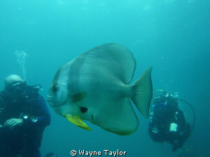 Batfish + 2 admiring divers by Wayne Taylor