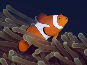 NEMO False clown Anemonefish (Clownfish) -  Amphiprion ... by Jörg Menge