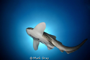 """Spotlight on the spots"". Leopard shark midwater by Mark Gray"
