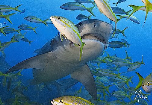 Tigers,Lemons,Reef Sharks everywhere in competition with ... by Steven Anderson