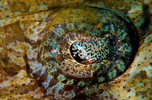 Crocodilefish eye.  60mm (on DX sensor) with a +3 diopter. by Paul Colley