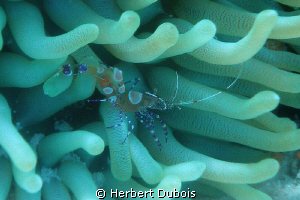 Shrimp on Anemone by Herbert Dubois