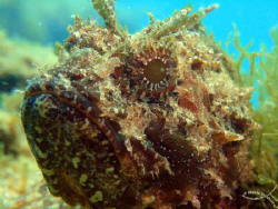 Scorpionfish watching me :D by Mário Monteiro