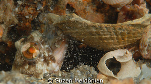 Dusky Jawfish blowing chunks... of shell as it prepares i... by Suzan Meldonian