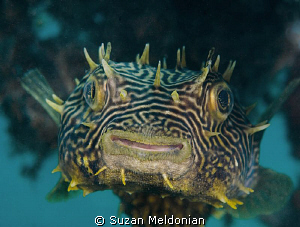 Striped Burrfish by Suzan Meldonian