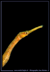 Pipefish in the water's of Lembeh Strait. by Michel Lonfat
