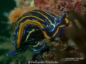 A funny Hypselodoris villafranca trying to watch what I w... by Fernando Trindade