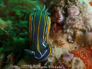 Hypselodoris villafranca going down.