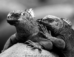 Best buddies - a pair of marine iguanas in the Galapagos... by Michael Gallagher