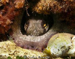 Octopus vulgaris.Olympus c-7070 and Ys-60 strob by Carlos Ernesto