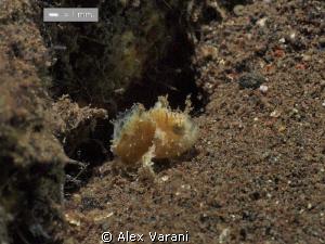Tiny frog fish (Antennarius cf. randalli) by Alex Varani