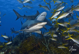 Reef Sharks find interest in our bait crates which are se... by Steven Anderson