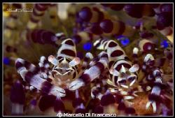 Cip&Ciop  (Coleman shrimp) by Marcello Di Francesco