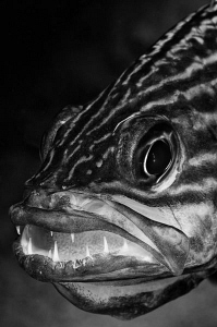 Cardinalfish with a new batch of eggs by Paul Colley