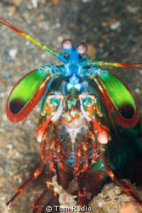 Mantis Shrimp Bali, Indonesia by Tom Radio
