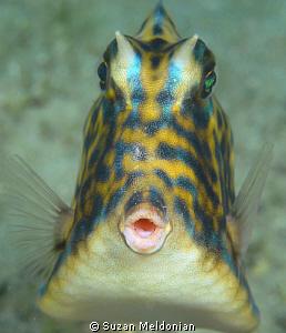 """Ooooh!""    Scrawled cowfish by Suzan Meldonian"
