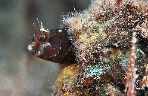 Checking all the surroundings, this little Seaweed Blenni... by Steven Anderson