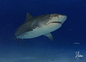 This image of a large Tiger Shark was taken during a dive... by Steven Anderson