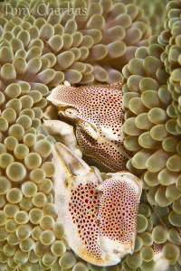 Porcelain Crab by Tony Cherbas